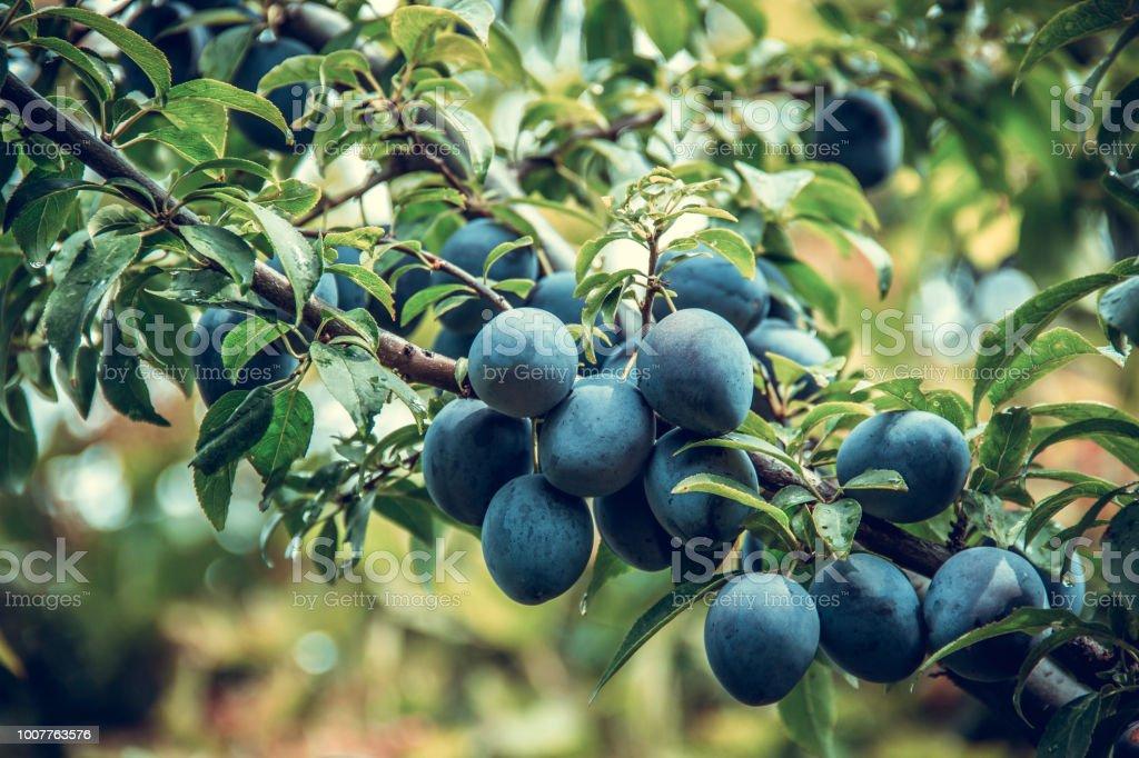 Fruto da ameixa. Colheita de ameixas. Ameixa orgânica - foto de acervo