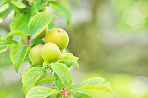 Früchte der Pflaume – Foto
