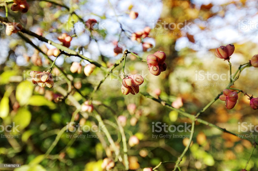 Fruit Of The Spindle Tree in Autumn stock photo