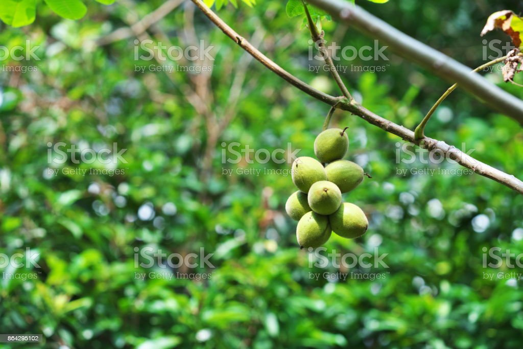 Fruit of the walnut royalty-free stock photo