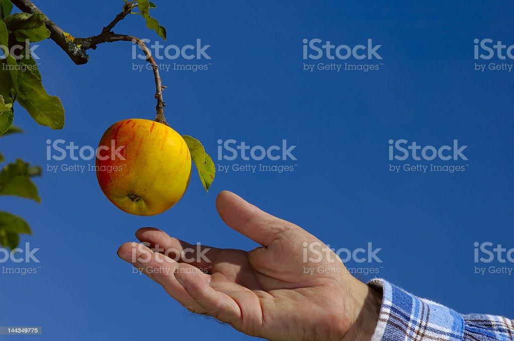Fruit picking royalty-free stock photo