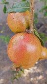 Ripe pomegranates in summer