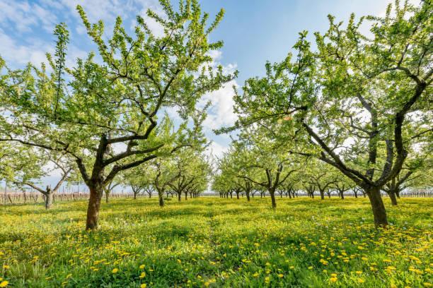 fruit plantation in the sun setting - mirabelle photos et images de collection