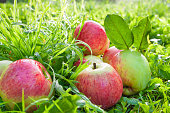 Fruit red apples on a  green grass,thanksgiving holiday