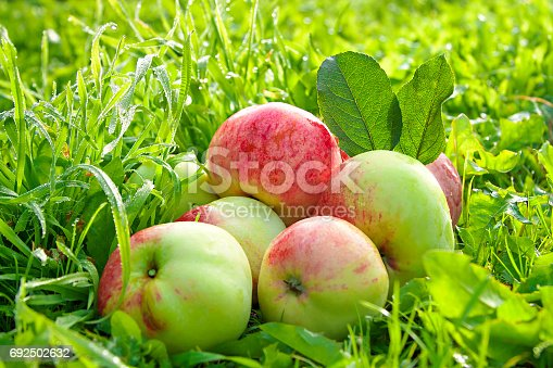 505840263istockphoto Fruit ripe, red, juicy apples lie on a green grass 692502632