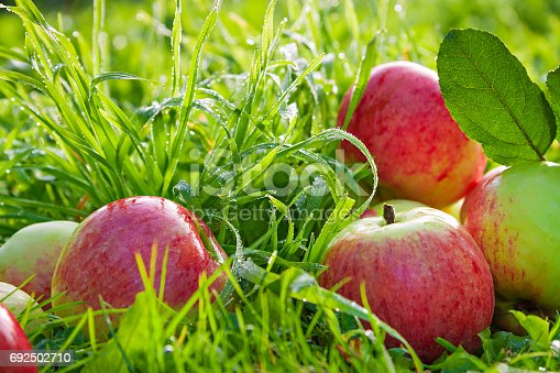 505840263istockphoto Fruit ripe, red, juicy apples lie on a green grass 692502710