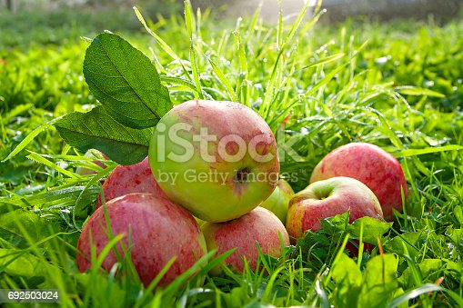 505840263istockphoto Fruit ripe, red, juicy apples lie on a green grass 692503024