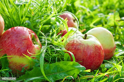 505840263istockphoto Fruit ripe, red, juicy apples lie on a green grass 692503056