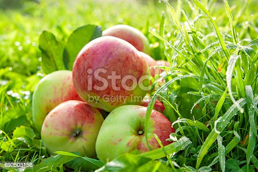 505840263istockphoto Fruit ripe, red, juicy apples lie on a green grass 692503156