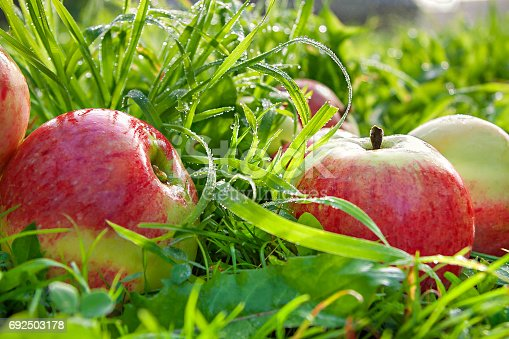505840263istockphoto Fruit ripe, red, juicy apples lie on a green grass 692503178