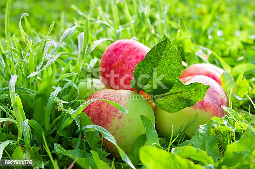 505840263istockphoto Fruit ripe, red, juicy apples lie on a green grass 692503376