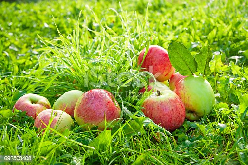 505840263istockphoto Fruit ripe, red, juicy apples lie on a green grass 692503408