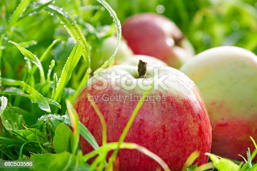 505840263istockphoto Fruit ripe, red, juicy apples lie on a green grass 692503586