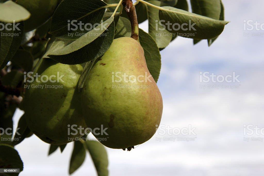 fruit scenes - pear royalty-free stock photo