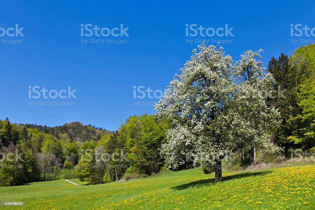 Fruit Tree Blooming stock photo