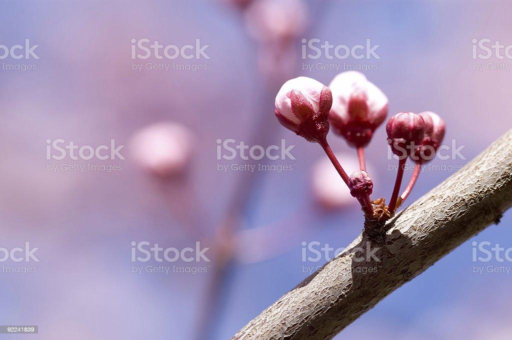 Fruit Tree - Flowering in Spring 7 royalty-free stock photo