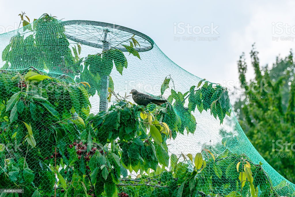 Fruit Tree growing in protective net for birds. stock photo
