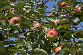 appletree with many red ripe fresh apples