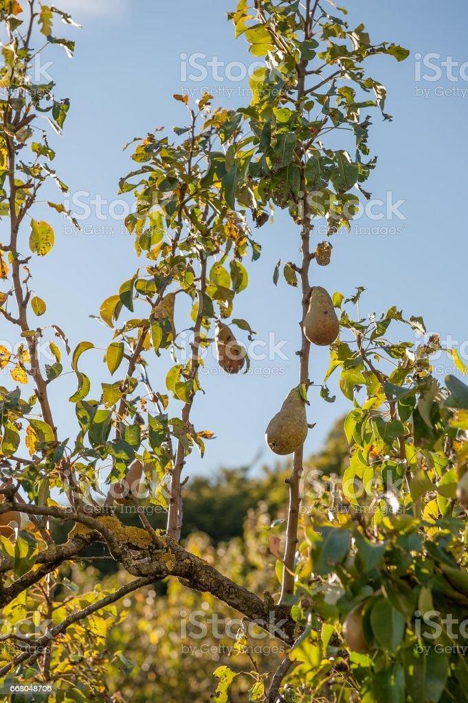 Fruit tree stock photo