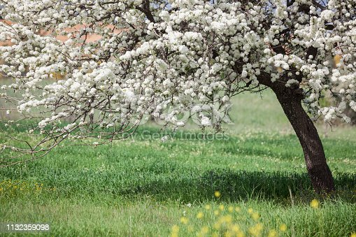 Fruit tree with white flowers on its branches in green filed during springtime. No people are seen in frame. Shut under daylight with a full frame DSLR camera.