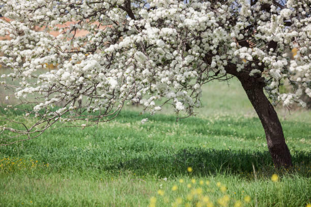 Fruit Tree With Flowers In Field During Springtime stock photo