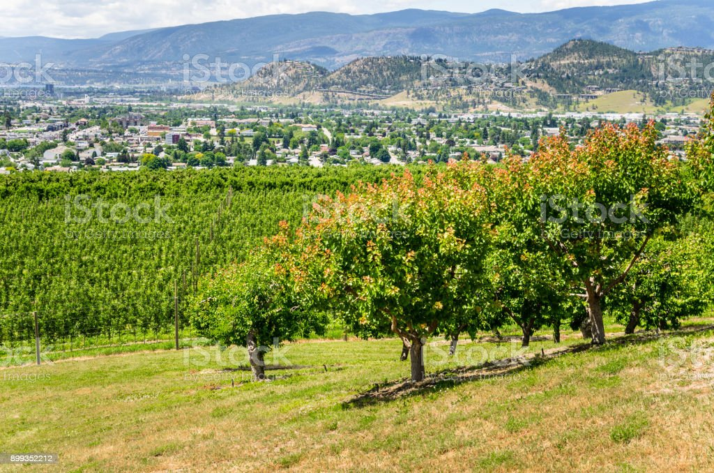 Fruit Trees and Vineyards in the Okanagan Valley on a Sunny Spring Day stock photo