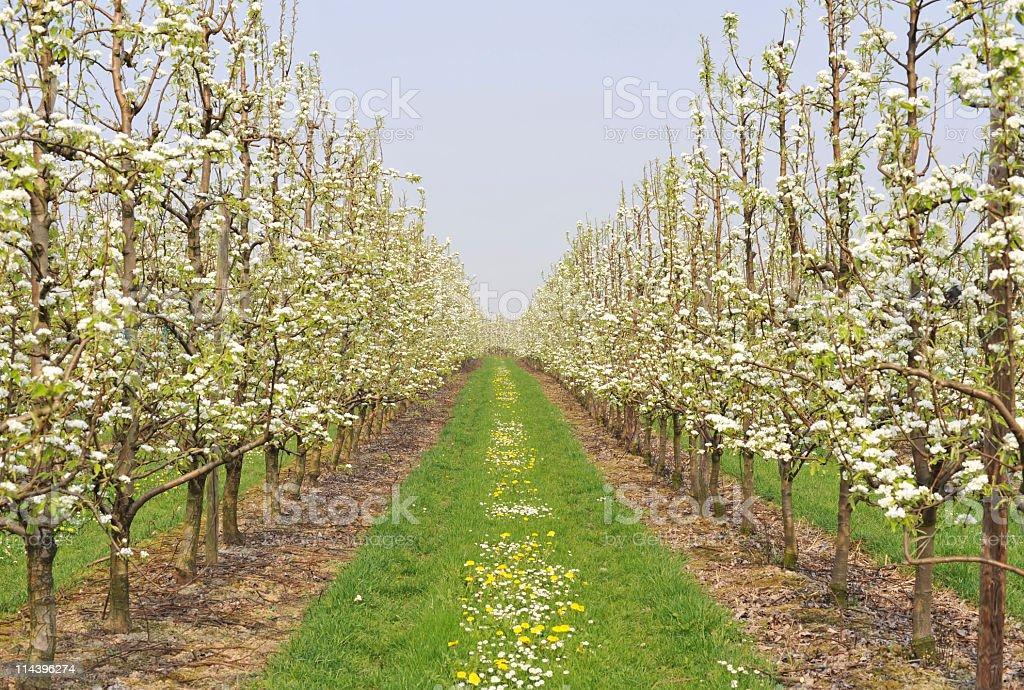 Fruit trees beginning to bloom in Haspengouw,Belgium stock photo