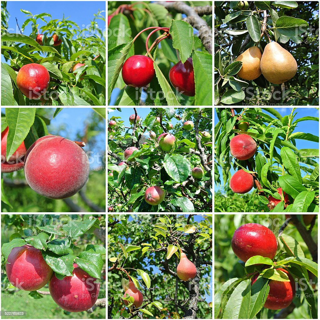 Fruit trees collage stock photo