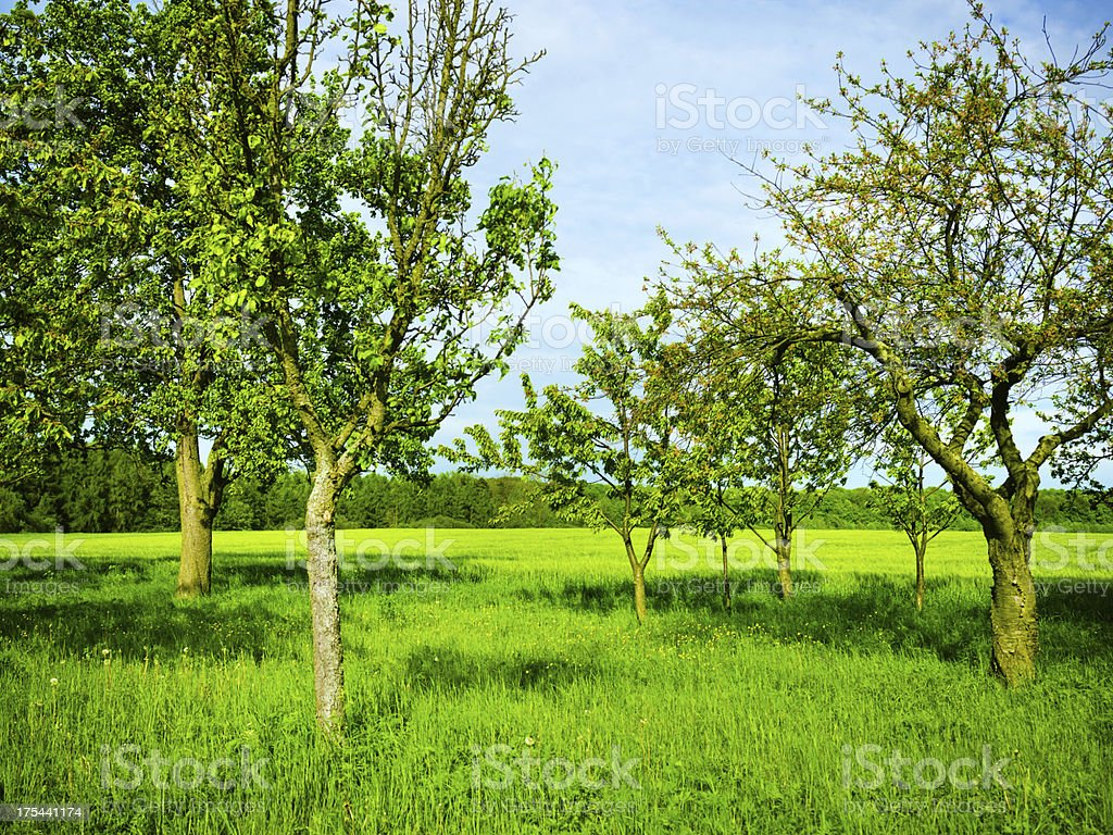 Fruit trees in a summer orchard royalty-free stock photo