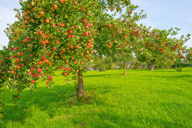 Fruit trees in an orchard in sunlight in autumn Fruit trees in an orchard in sunlight in autumn apple orchard stock pictures, royalty-free photos & images