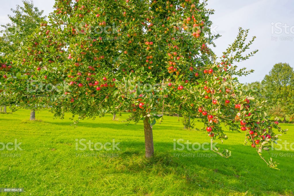 Fruit trees in an orchard in sunlight in autumn stock photo