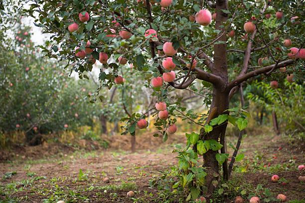 Fruit trees in autumn. stock photo