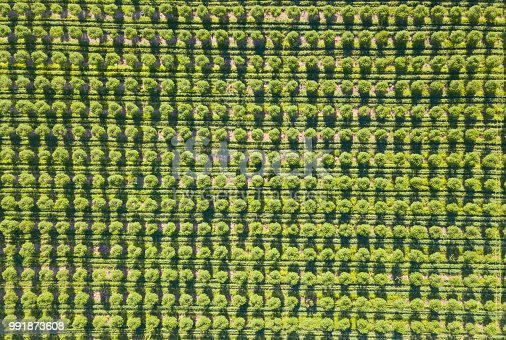 Fruit trees in perfect rows seen from above