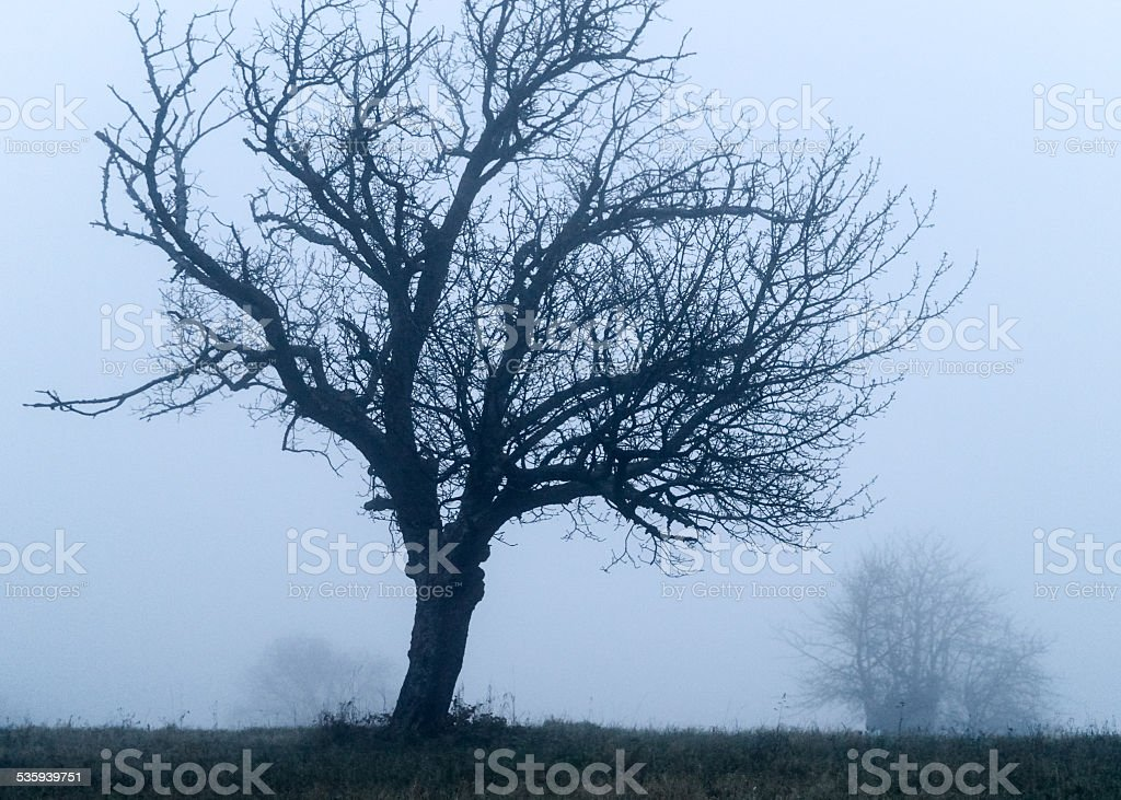 Fruit trees in the fog stock photo