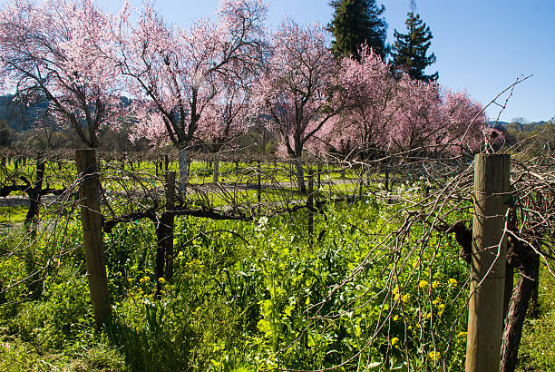 obst bäume frühling in napa valley wine country calistoga kalifornien - robert weinberg stock-fotos und bilder