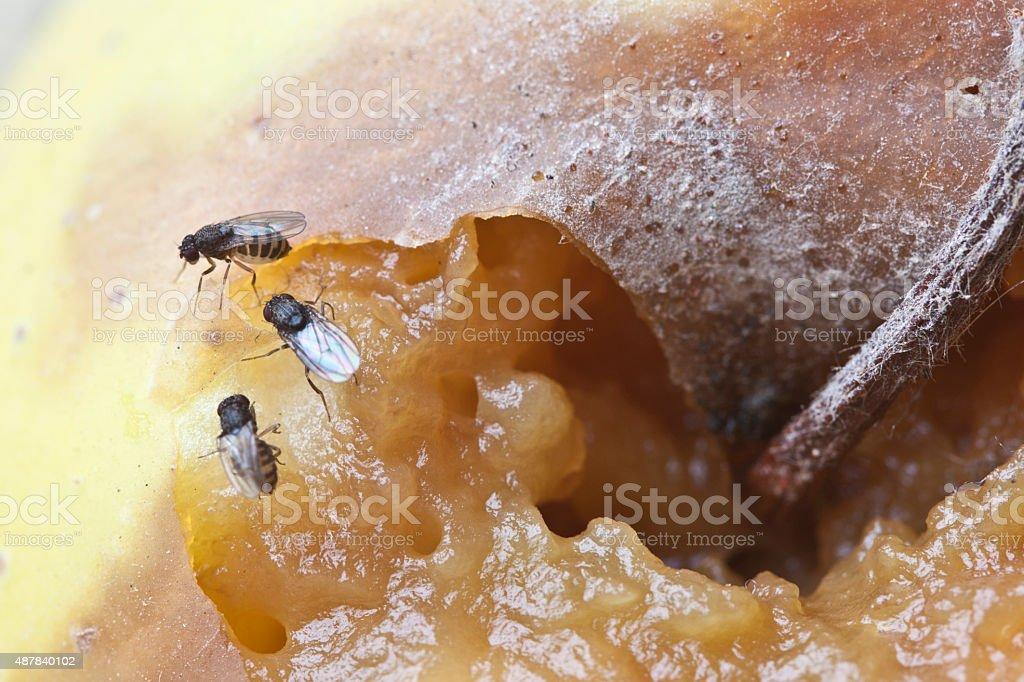 fruitfly on the wild nature (Drosophila Melanogaster) stock photo