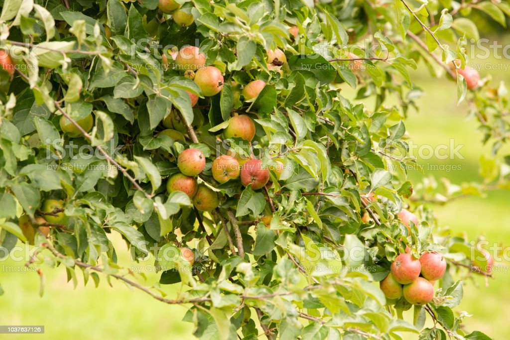 Fruitful apple tree in a Herefordshire Orchard stock photo
