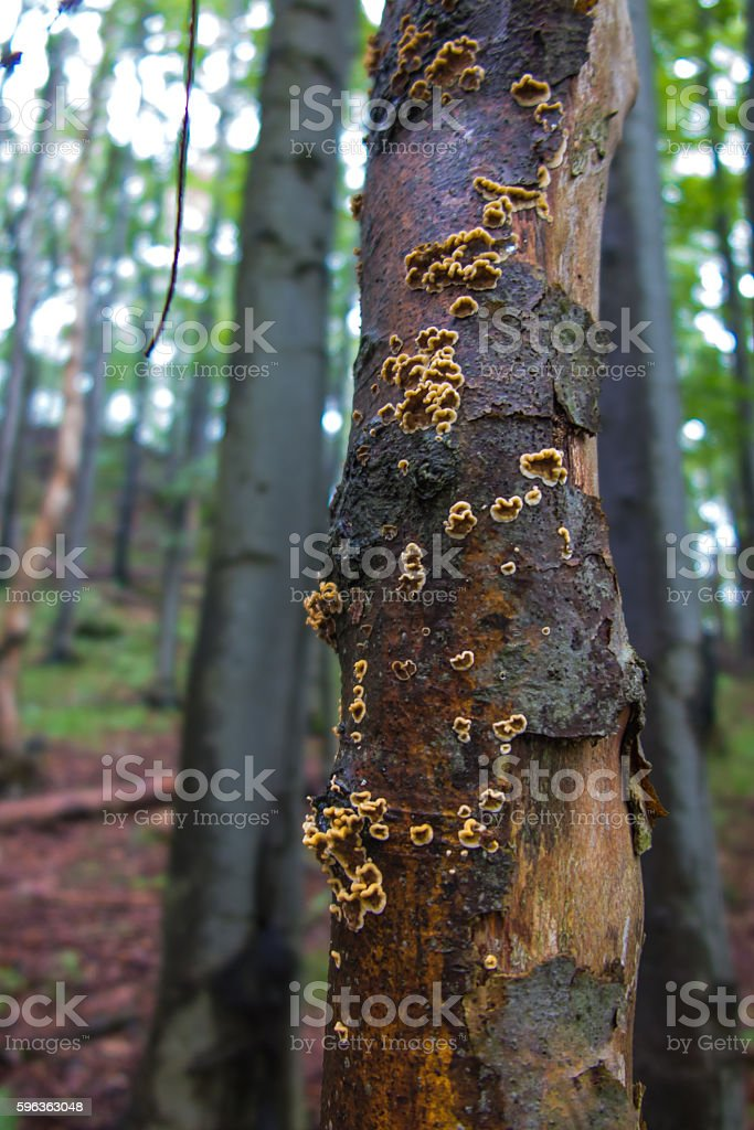 fruiting bodies of fungi arboreal royalty-free stock photo