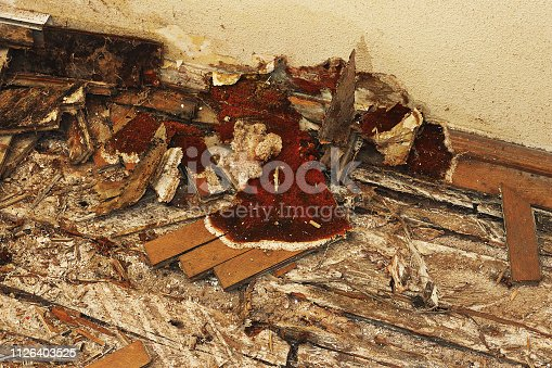 fruiting body of dry rot on the floor ( Serpula syn Merulius lacrymans ); the parquet and the wooden elements are completely destroied
