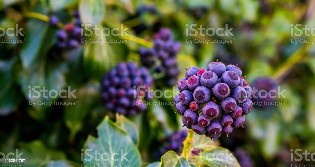 fruiting Ivy plant met paarse en blauwe bessen in close-up, botanische tuin, natuurlijke tuin achtergrond foto