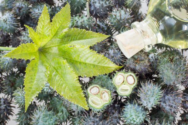 fruits and castor oil - ricinus communis - ricin zdjęcia i obrazy z banku zdjęć