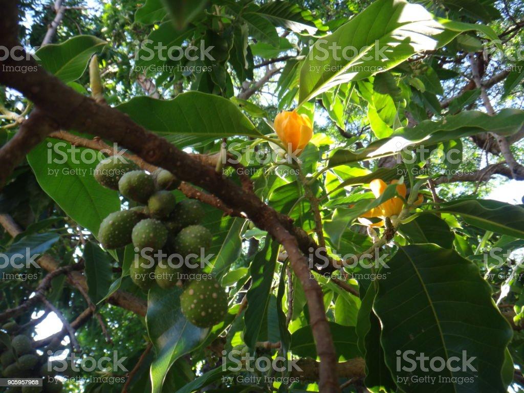 Fruits and flower of champaca tree stock photo