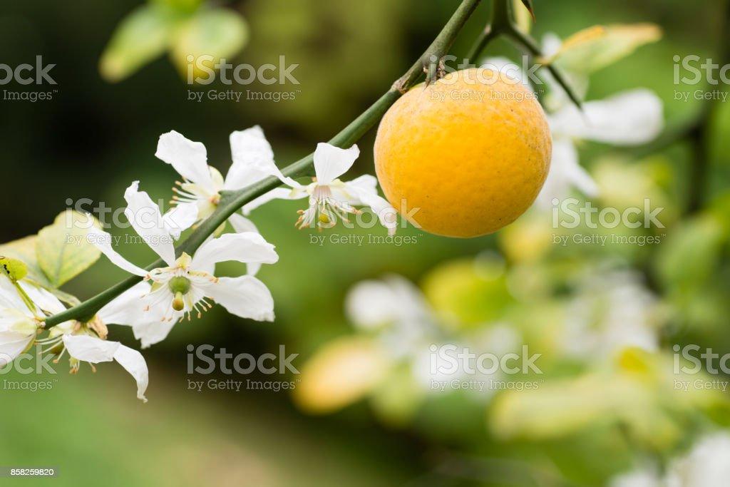 Fruits et fleurs d'Oranger trifolié - Photo
