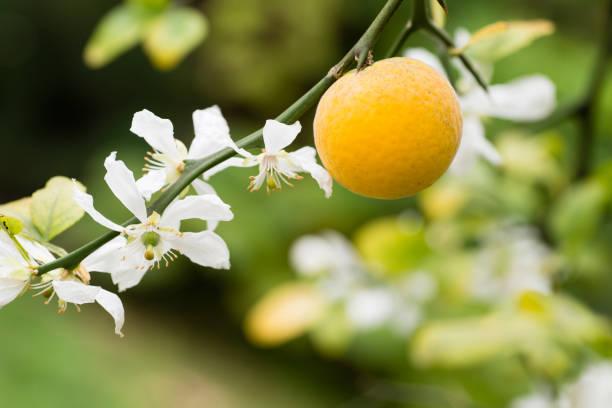 Frutas y flores de Naranjo trifoliado - foto de stock