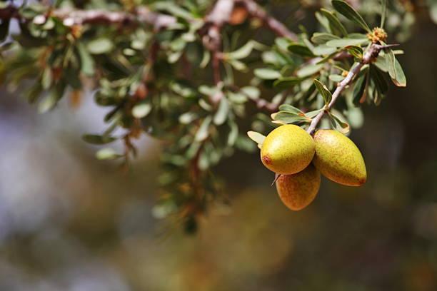 Fruits of Argan tree stok fotoğrafı