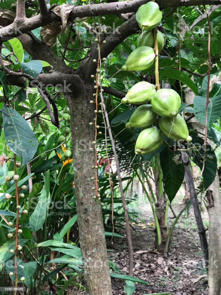 Part Ii More Fruit Of Poisonous Tree >> Fruits Of Barringtonia Asiatica Or Putat Or Fish Poison Tree Or Sea