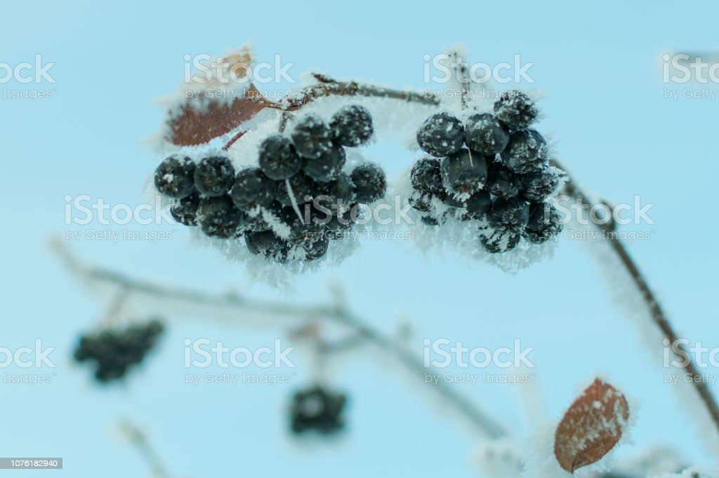 fruits of black chokeberry in hoarfrost on a branch in winter, against a blue sky