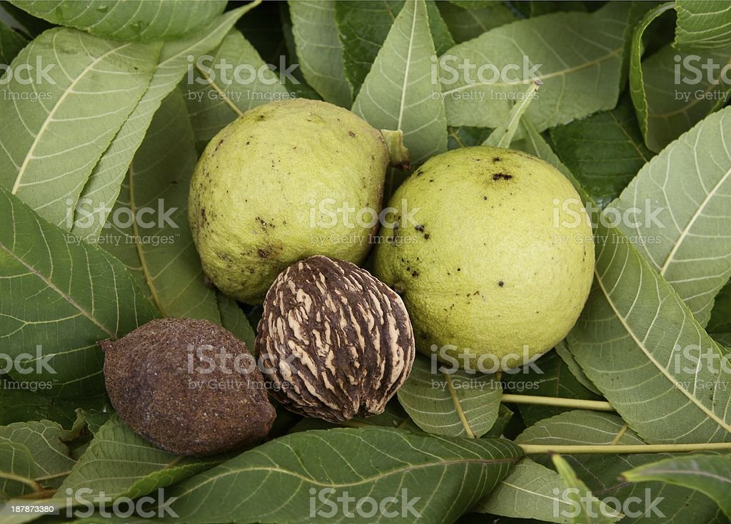 fruits of black walnut tree stock photo