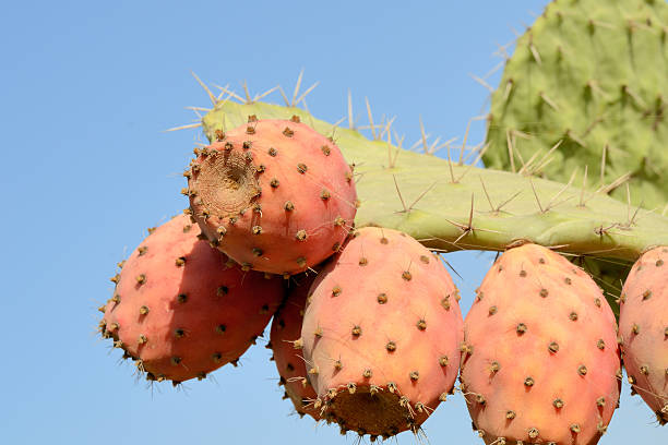Fruits of cactus stock photo