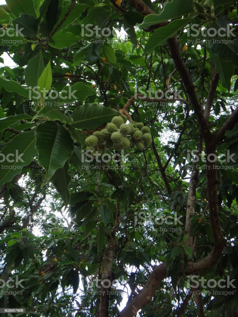 Fruits of champaca tree stock photo